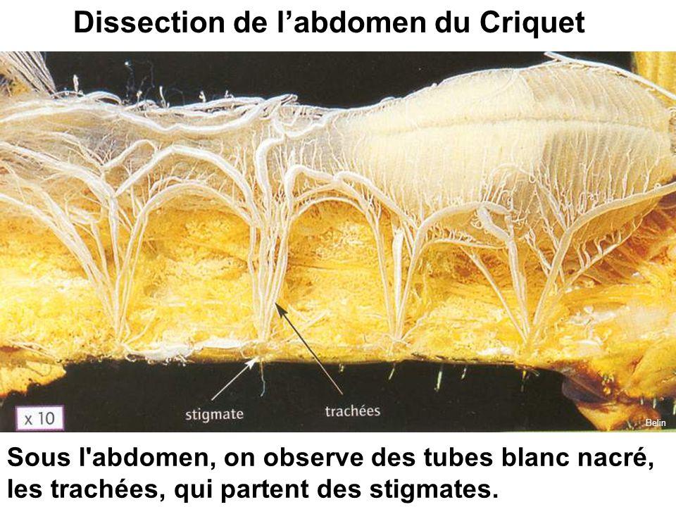 Sous l'abdomen, on observe des tubes blanc nacré, les trachées, qui partent des stigmates. Dissection de l'abdomen du Criquet Belin