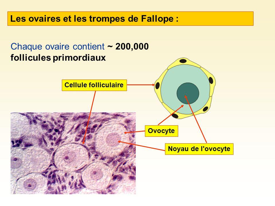 Les ovaires et les trompes de Fallope : Chaque ovaire contient ~ 200,000 follicules primordiaux Cellule folliculaire Noyau de l'ovocyte Ovocyte