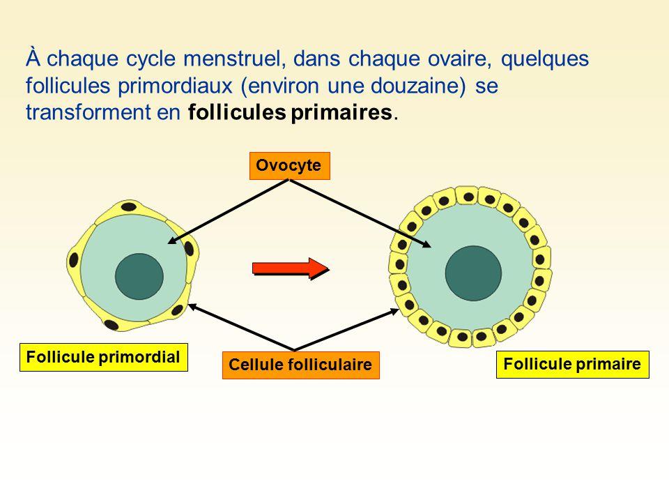 À chaque cycle menstruel, dans chaque ovaire, quelques follicules primordiaux (environ une douzaine) se transforment en follicules primaires. Cellule