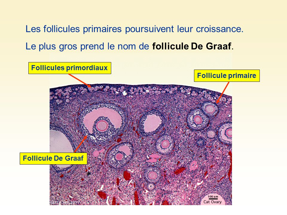 Les follicules primaires poursuivent leur croissance. Le plus gros prend le nom de follicule De Graaf. Follicules primordiaux Follicule primaire Folli
