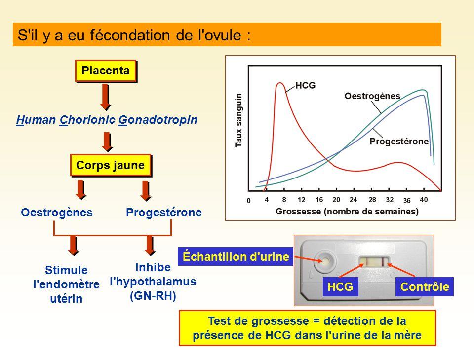 S'il y a eu fécondation de l'ovule : Placenta Human Chorionic Gonadotropin Corps jaune OestrogènesProgestérone Stimule l'endomètre utérin Inhibe l'hyp