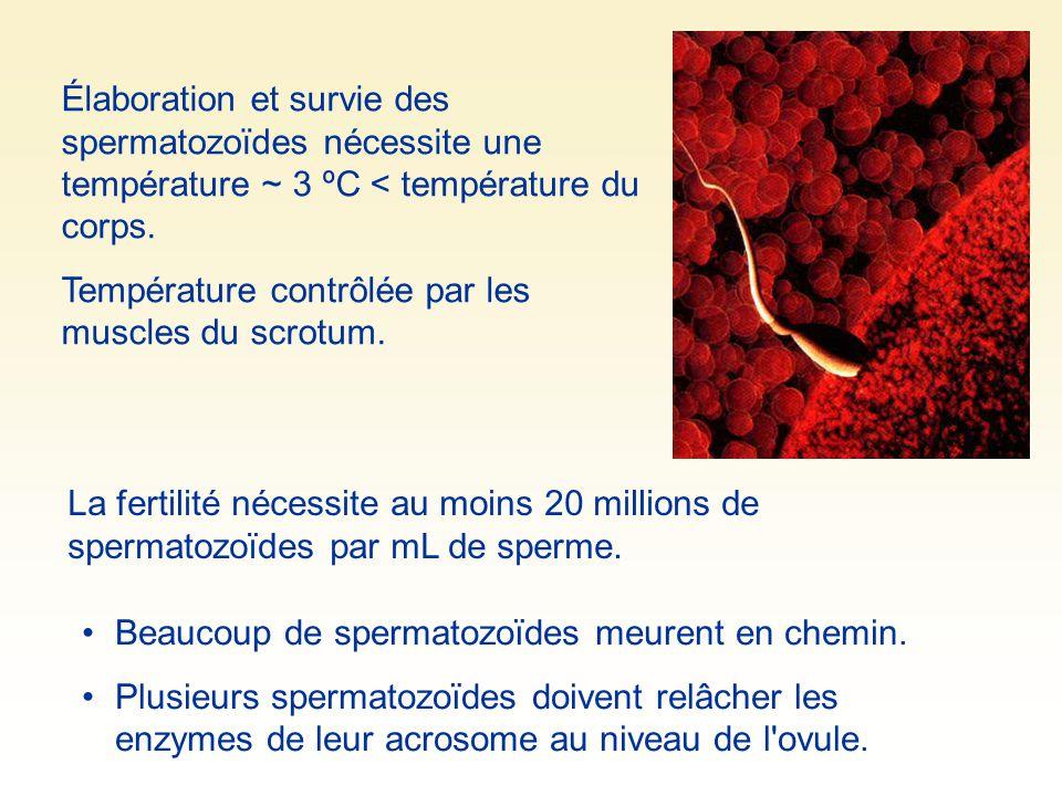 Élaboration et survie des spermatozoïdes nécessite une température ~ 3 ºC < température du corps. Température contrôlée par les muscles du scrotum. La