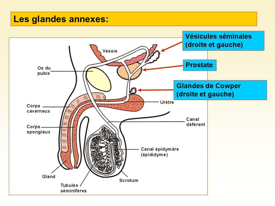 Les glandes annexes: Vésicules séminales (droite et gauche) ProstateGlandes de Cowper (droite et gauche)