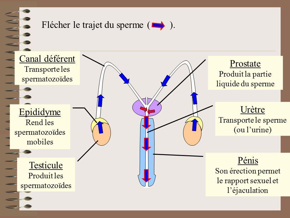 Flécher le trajet du sperme ( ). Testicule Produit les spermatozoïdes Epididyme Rend les spermatozoïdes mobiles Prostate Produit la partie liquide du