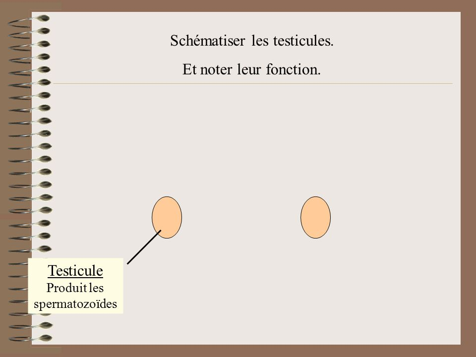 Testicule Produit les spermatozoïdes Schématiser les testicules. Et noter leur fonction.