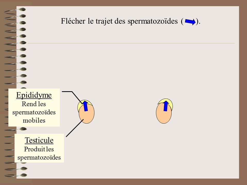 Testicule Produit les spermatozoïdes Epididyme Rend les spermatozoïdes mobiles Canal déférent Transporte les spermatozoïdes Schématiser les canaux déférents.
