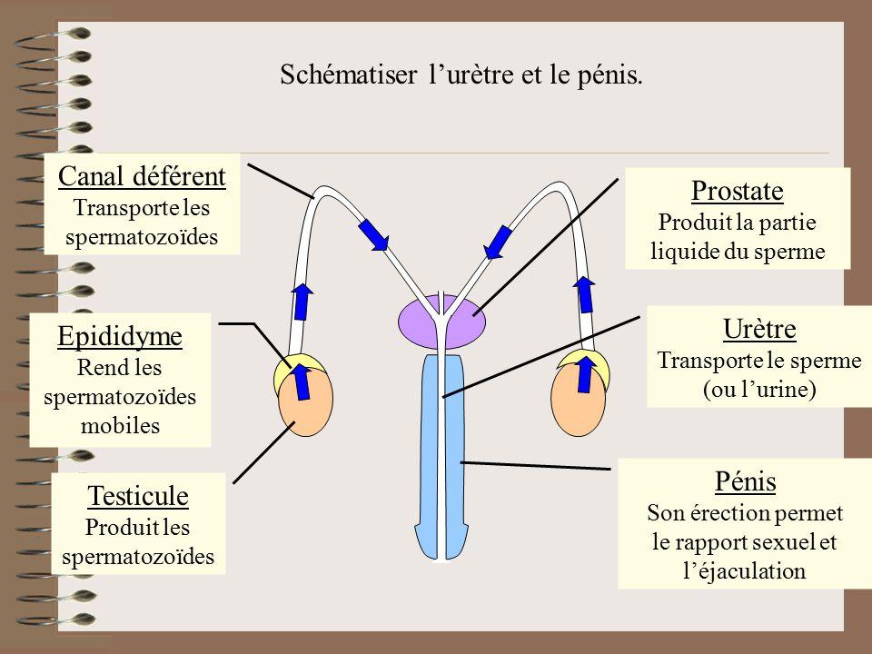 Flécher l'arrivée de la partie liquide du sperme ().