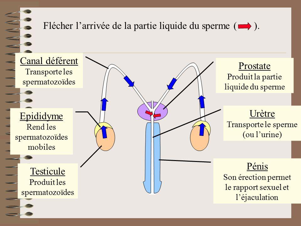 Flécher l'arrivée de la partie liquide du sperme (). Testicule Produit les spermatozoïdes Epididyme Rend les spermatozoïdes mobiles Prostate Produit l