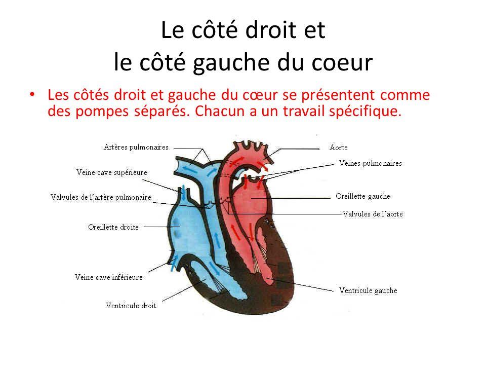 Le côté droit et le côté gauche du coeur Les côtés droit et gauche du cœur se présentent comme des pompes séparés.