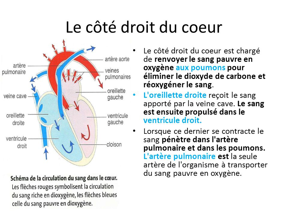 Le côté droit du coeur Le côté droit du coeur est chargé de renvoyer le sang pauvre en oxygène aux poumons pour éliminer le dioxyde de carbone et réoxygéner le sang.