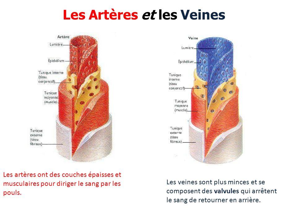 Les artères ont des couches épaisses et musculaires pour diriger le sang par les pouls.