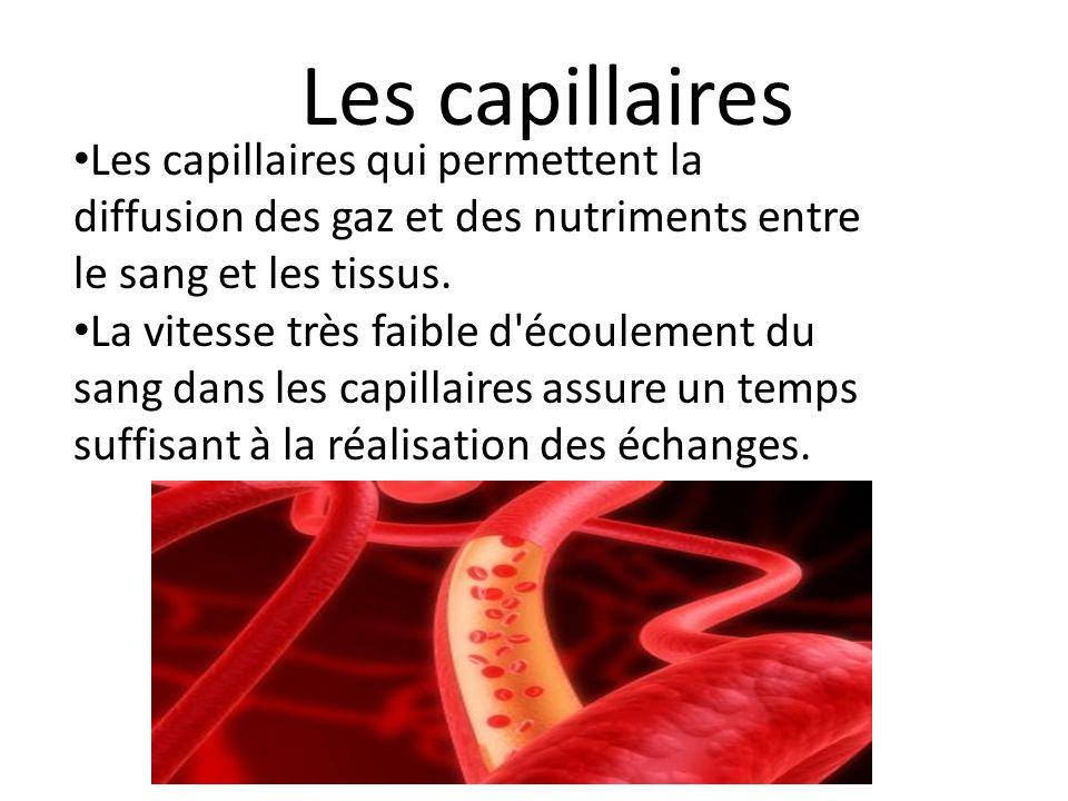 Les capillaires qui permettent la diffusion des gaz et des nutriments entre le sang et les tissus.