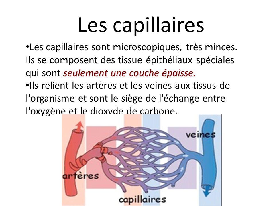 seulement une couche épaisse.Les capillaires sont microscopiques, très minces.