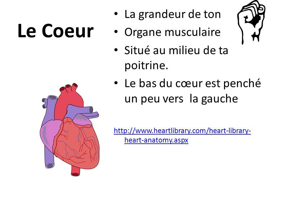 Le Coeur La grandeur de ton Organe musculaire Situé au milieu de ta poitrine.