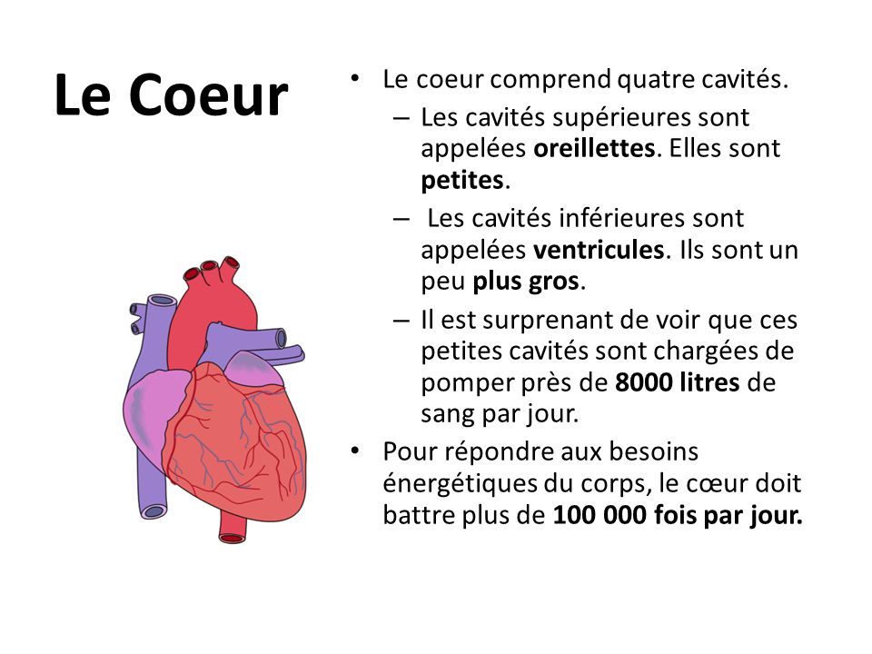 Chaque côté du cœur est divisé en deux chambres.