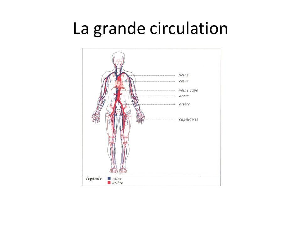 Les artères, les veines et les capillaires