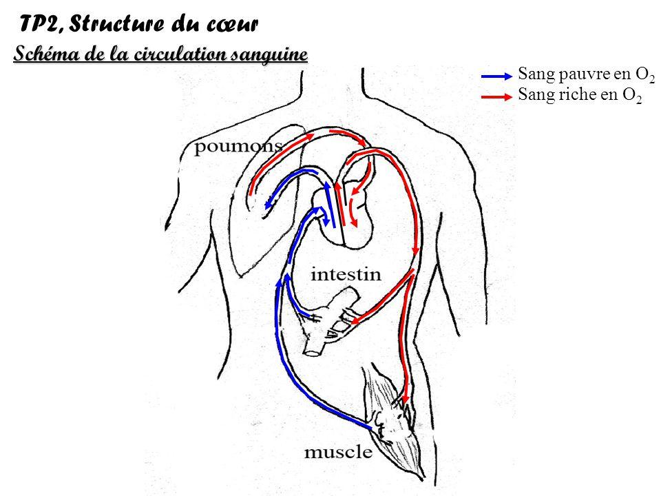 Sang pauvre en O 2 Sang riche en O 2 Schéma de la circulation sanguine TP4, Structure du cœur Artère pulmonaire Oreillette droite Veine cave Ventricule droit Artère aorte Veine pulmonaire Oreillette gauche Cloison Ventricule gauche