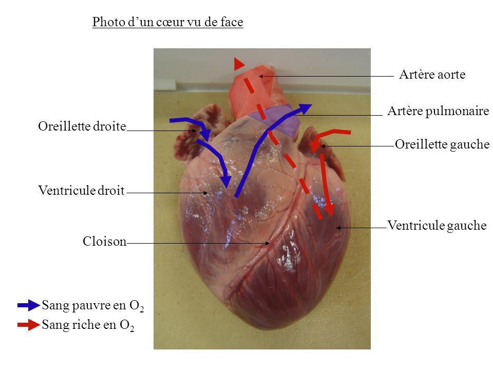 Oreillette droite Ventricule droit Cloison Oreillette gauche Ventricule gauche Artère aorte Artère pulmonaire Sang pauvre en O 2 Sang riche en O 2 Photo d'un cœur vu de face