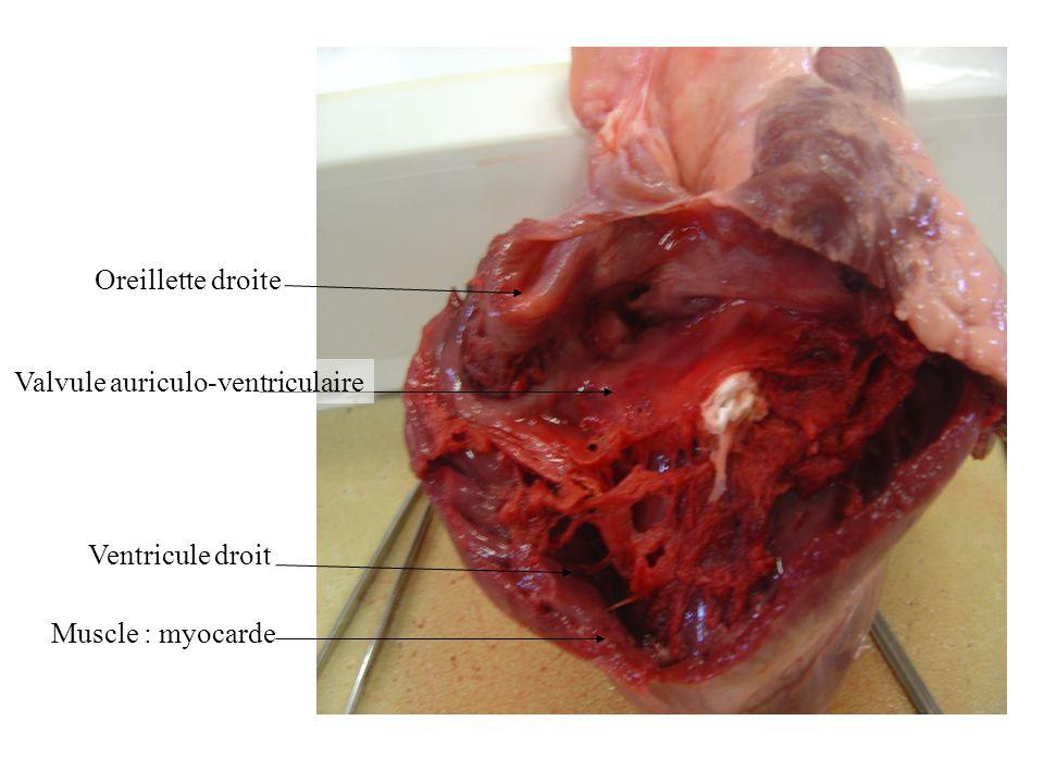 Oreillette droite Ventricule droit Valvule auriculo-ventriculaire Muscle : myocarde