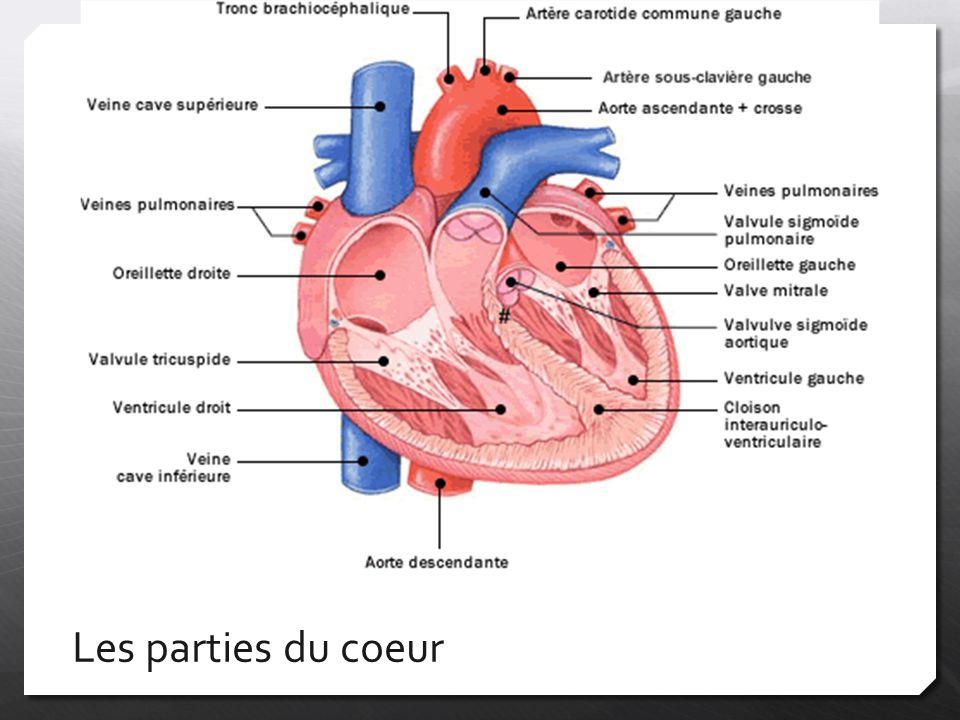 Les artères  Deux principales artères: l'aorte et l'artère pulmonaire  L'aorte  Ventricule gauche  Apporte le sang oxygéné à tous les organes  L'artère pulmonaire  Apporte le sang vicié (désoxygéné) du ventricule droit aux poumons afin qu'il soit purifié
