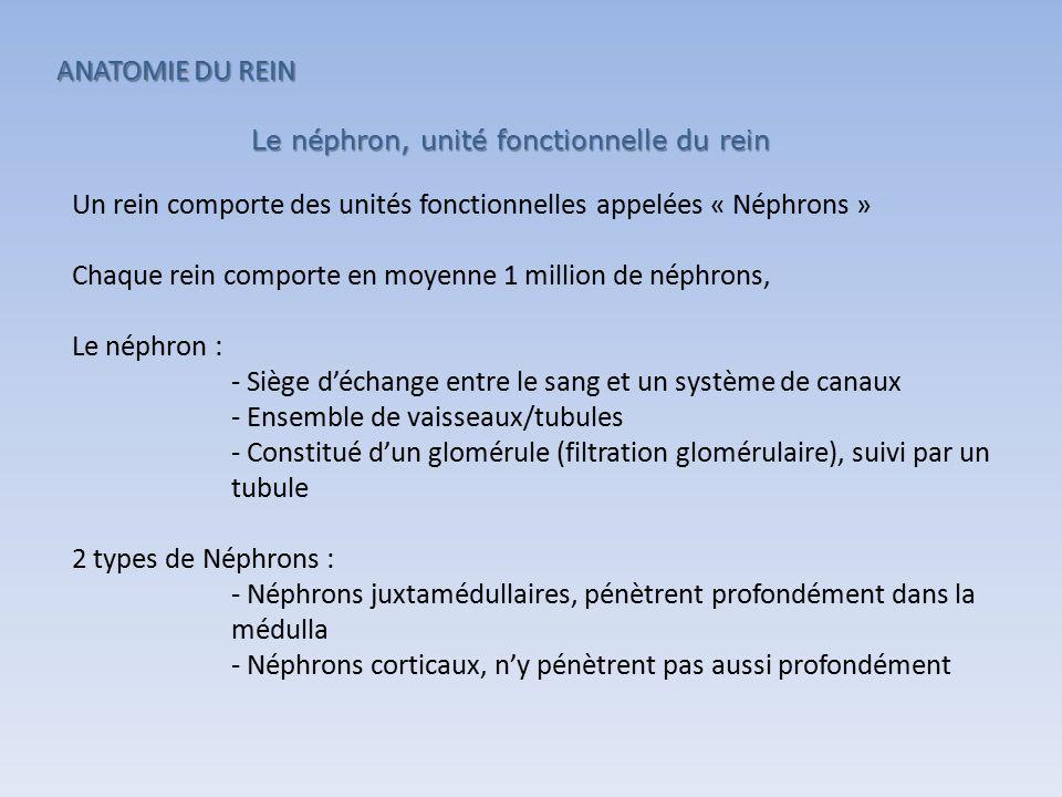 Un rein comporte des unités fonctionnelles appelées « Néphrons » Chaque rein comporte en moyenne 1 million de néphrons, Le néphron : - Siège d'échange entre le sang et un système de canaux - Ensemble de vaisseaux/tubules - Constitué d'un glomérule (filtration glomérulaire), suivi par un tubule 2 types de Néphrons : - Néphrons juxtamédullaires, pénètrent profondément dans la médulla - Néphrons corticaux, n'y pénètrent pas aussi profondément Le néphron, unité fonctionnelle du rein