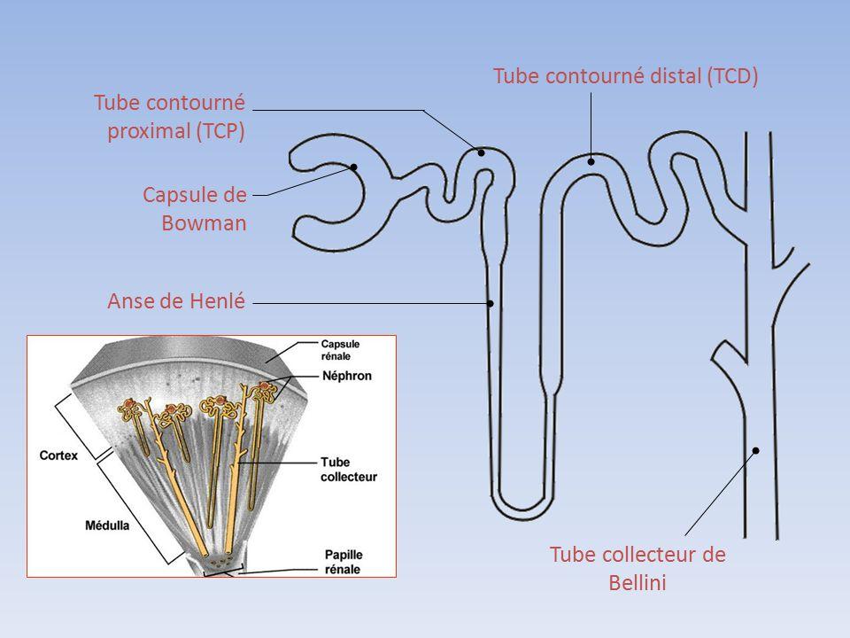 Tube contourné proximal (TCP) Capsule de Bowman Anse de Henlé Tube contourné distal (TCD) Tube collecteur de Bellini