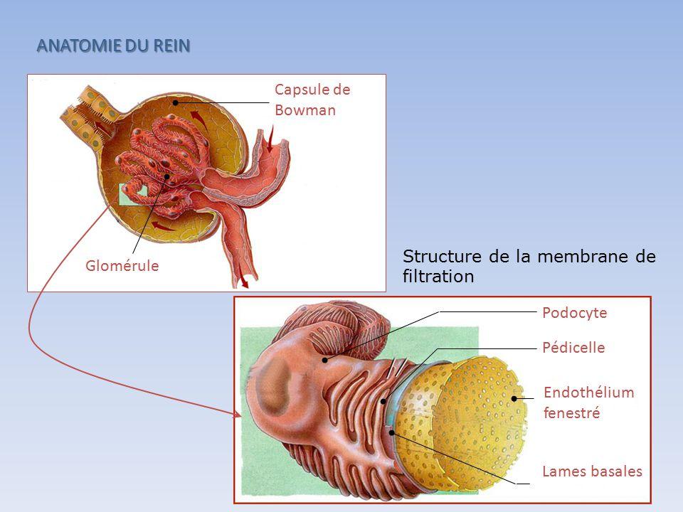ANATOMIE DU REIN Capsule de Bowman Glomérule Endothélium fenestré Podocyte Lames basales Pédicelle Structure de la membrane de filtration