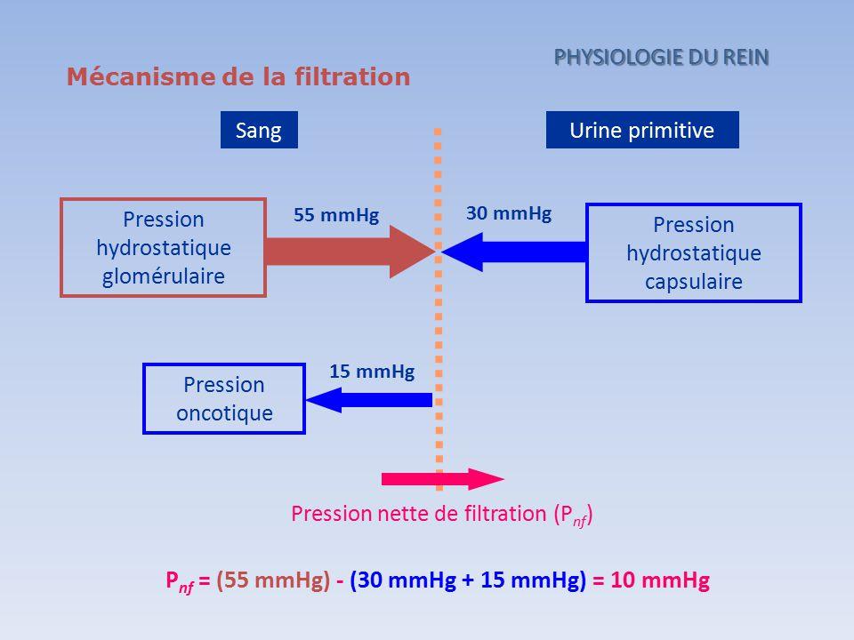 Mécanisme de la filtration SangUrine primitive Pression hydrostatique glomérulaire 55 mmHg Pression hydrostatique capsulaire 15 mmHg Pression oncotiqu