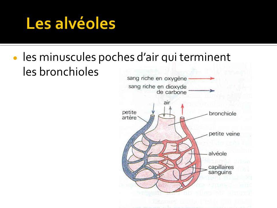  les minuscules poches d'air qui terminent les bronchioles