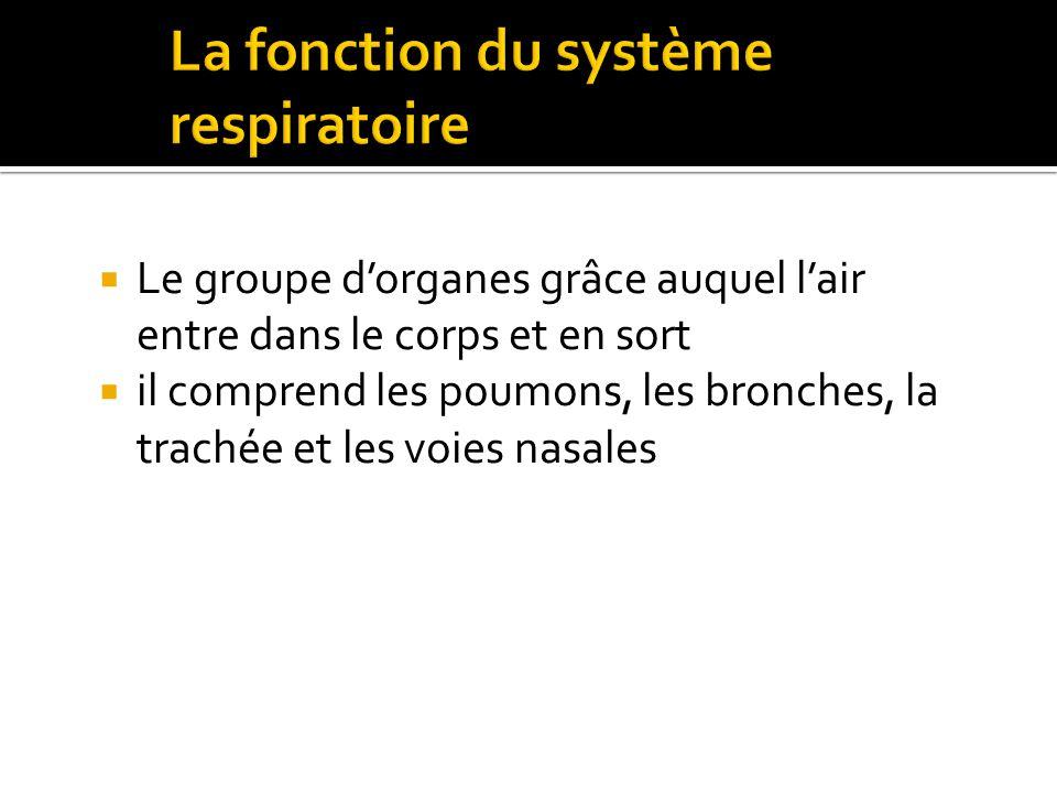  Le groupe d'organes grâce auquel l'air entre dans le corps et en sort  il comprend les poumons, les bronches, la trachée et les voies nasales