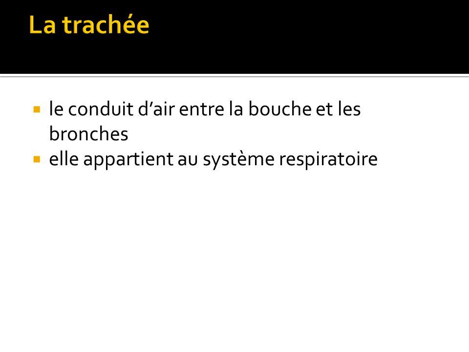  le conduit d'air entre la bouche et les bronches  elle appartient au système respiratoire