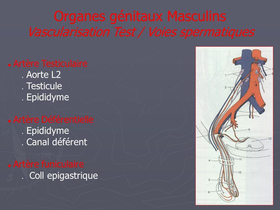  Artère Testiculaire  Aorte L2  Testicule  Epididyme  Artère Déférentielle  Epididyme  Canal déférent  Artère funiculaire  Coll epigastrique Organes génitaux Masculins Vascularisation Test / Voies spermatiques