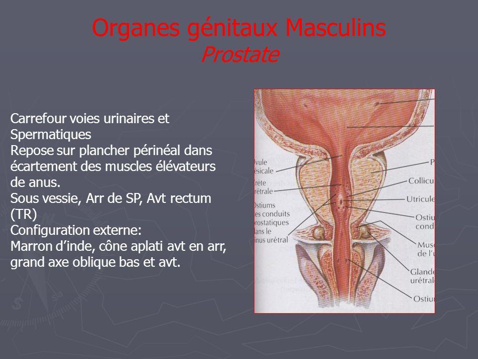 Organes génitaux Masculins Prostate Carrefour voies urinaires et Spermatiques Repose sur plancher périnéal dans écartement des muscles élévateurs de anus.