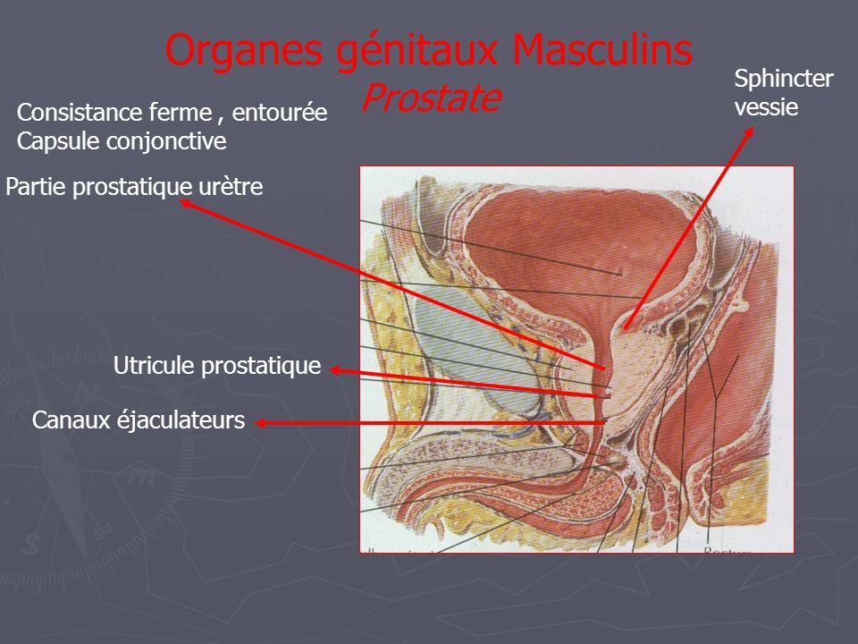 Organes génitaux Masculins Prostate Partie prostatique urètre Sphincter vessie Utricule prostatique Canaux éjaculateurs Consistance ferme, entourée Capsule conjonctive