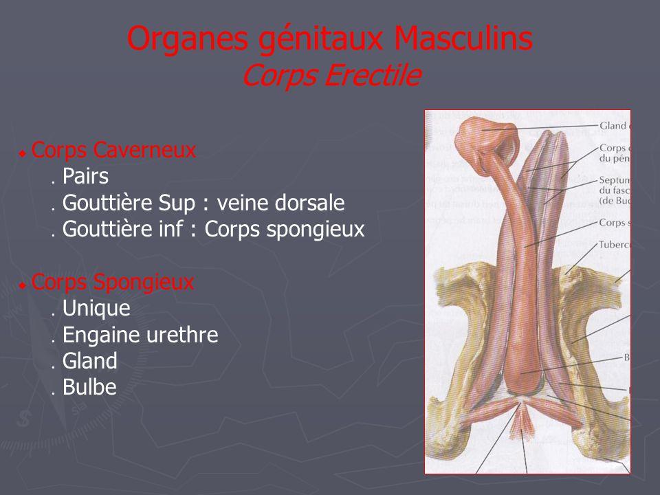  Corps Caverneux  Pairs  Gouttière Sup : veine dorsale  Gouttière inf : Corps spongieux  Corps Spongieux  Unique  Engaine urethre  Gland  Bulbe Organes génitaux Masculins Corps Erectile