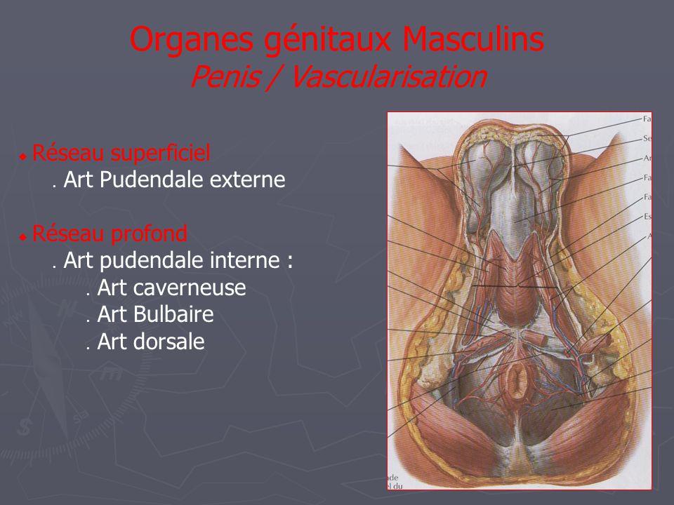  Réseau superficiel  Art Pudendale externe  Réseau profond  Art pudendale interne :  Art caverneuse  Art Bulbaire  Art dorsale Organes génitaux Masculins Penis / Vascularisation