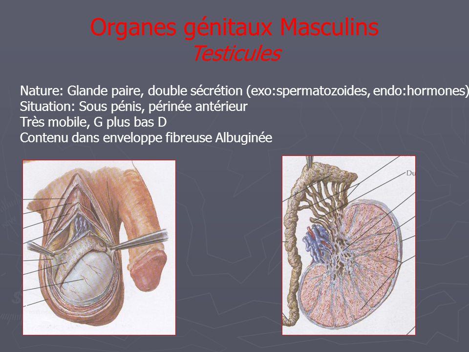 Organes génitaux Masculins Testicules Nature: Glande paire, double sécrétion (exo:spermatozoides, endo:hormones) Situation: Sous pénis, périnée antérieur Très mobile, G plus bas D Contenu dans enveloppe fibreuse Albuginée