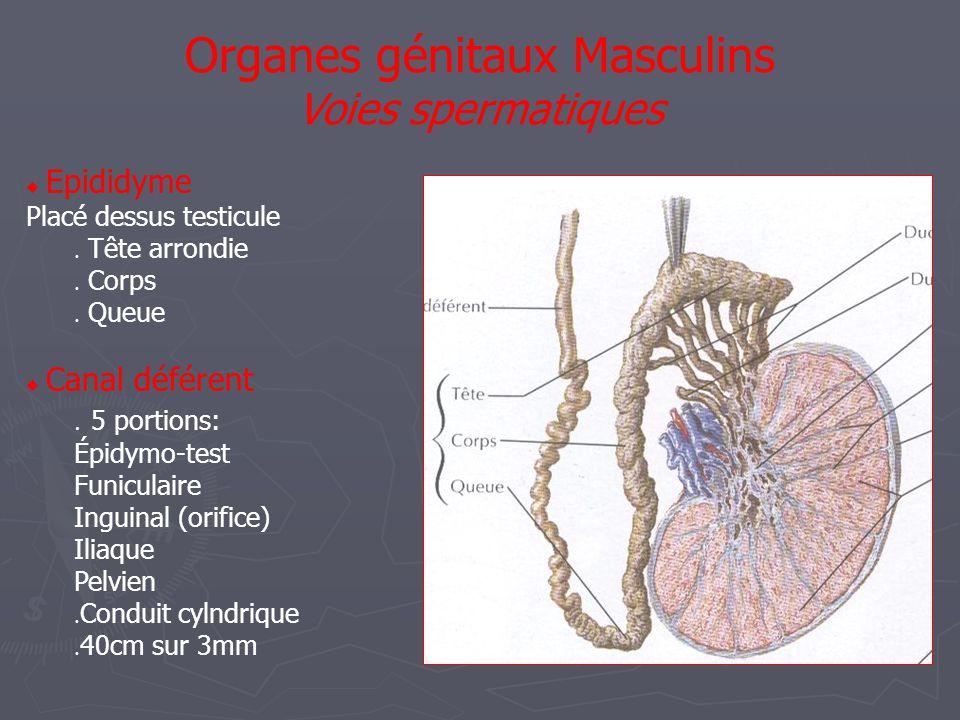  Canal déférent  Portion Epididymo- testiculaire  Portion Funiculaire  Portion Inguinale  Portion Iliaque  Portion Pelvienne Organes génitaux Masculins Voies spermatiques