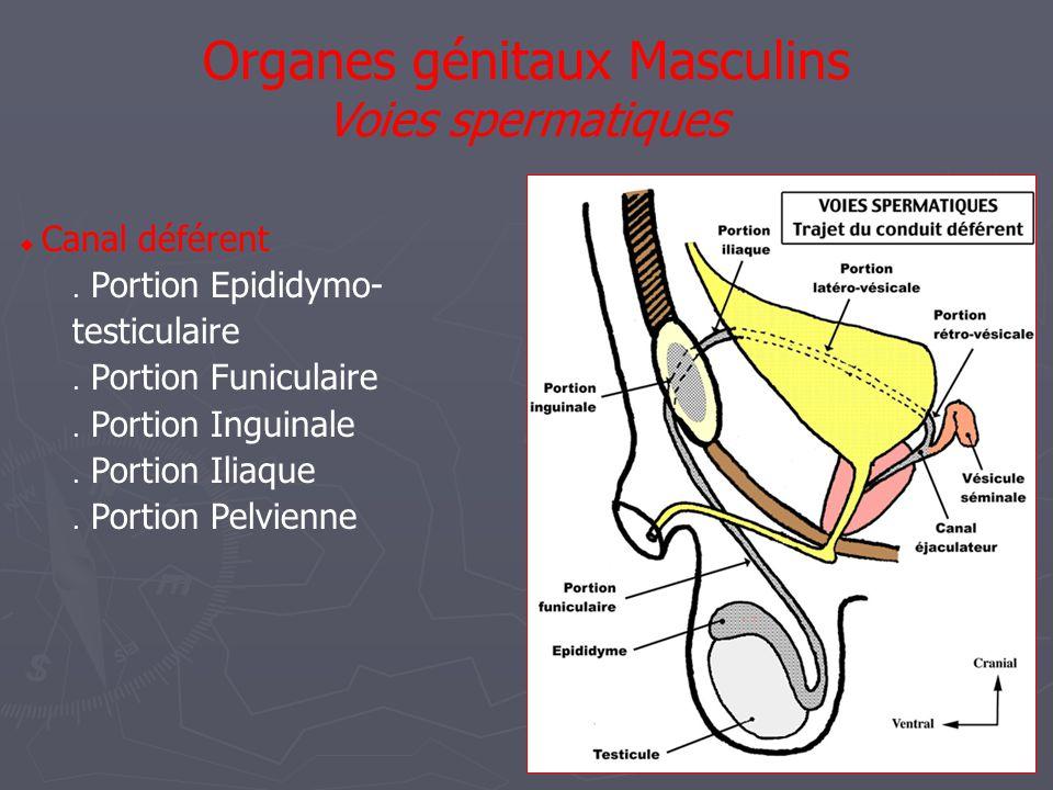 Organes génitaux Masculins Penis / Vascularisation  Réseau superficiel  Art Pudendale externe  Réseau profond  Art pudendale interne :  Art caverneuse  Art Bulbaire  Art dorsale