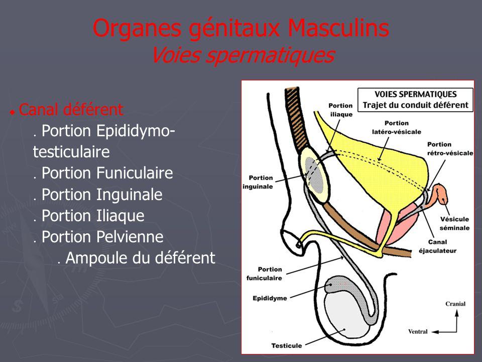  Vésicules séminales Réservoir placé dérivation des voies spermatiques Situation: arr de vessie, avt rectum, sous prostate  Canaux éjaculateurs Chemine oblique bas et avt Terminaison partie prostatique de urètre Organes génitaux Masculins Voies spermatiques