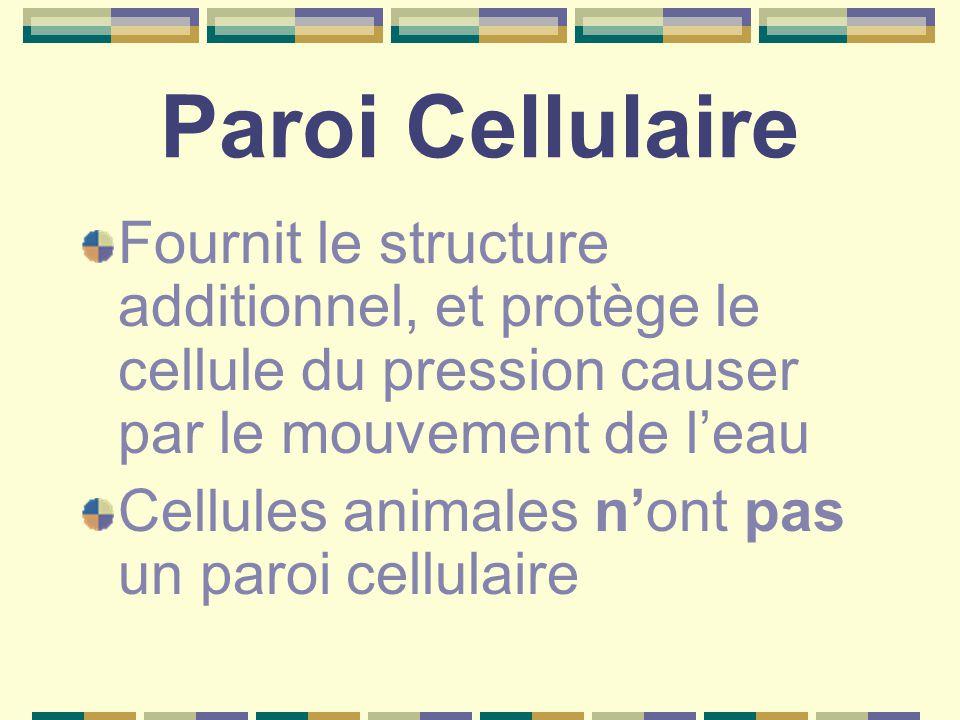Paroi Cellulaire Fournit le structure additionnel, et protège le cellule du pression causer par le mouvement de l'eau Cellules animales n'ont pas un paroi cellulaire