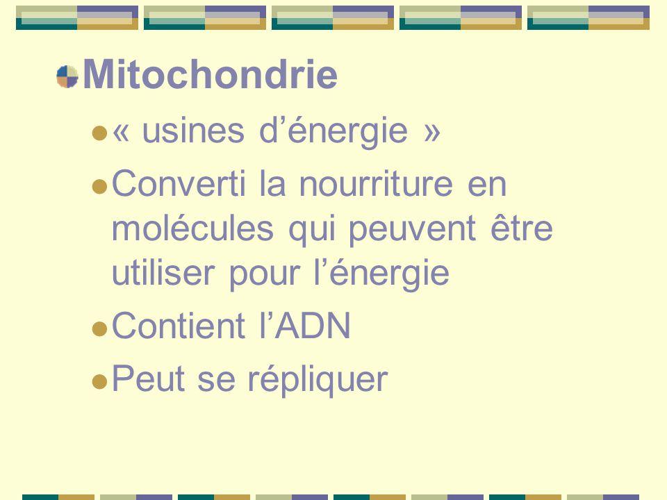 Mitochondrie « usines d'énergie » Converti la nourriture en molécules qui peuvent être utiliser pour l'énergie Contient l'ADN Peut se répliquer