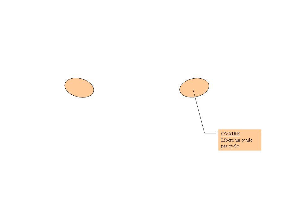OVAIRE Libère un ovule par cycle