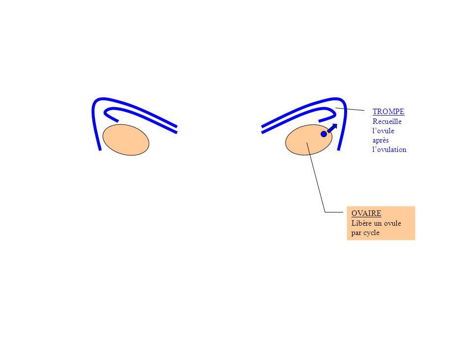 OVAIRE Libère un ovule par cycle TROMPE Recueille l'ovule après l'ovulation