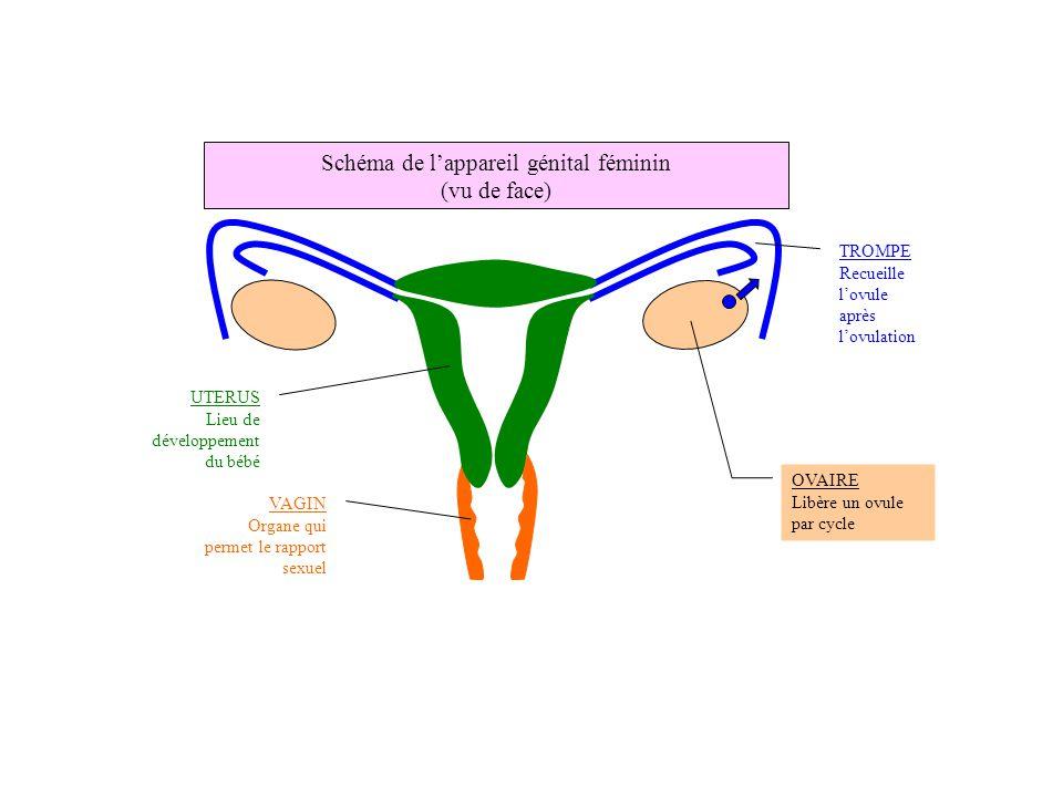 OVAIRE Libère un ovule par cycle UTERUS Lieu de développement du bébé VAGIN Organe qui permet le rapport sexuel TROMPE Recueille l'ovule après l'ovula