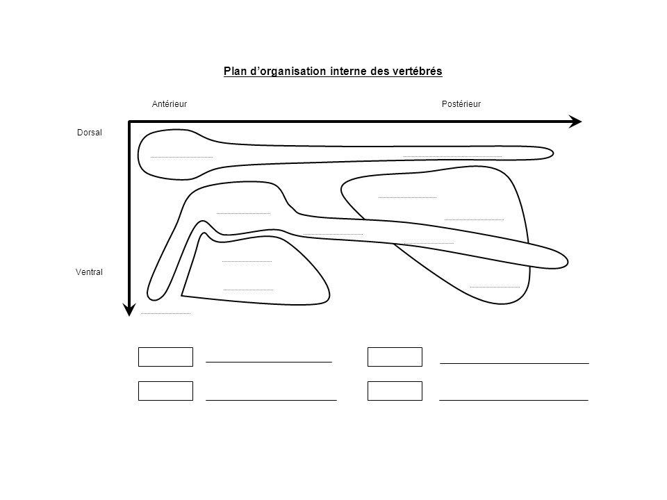 Plan d'organisation interne des vertébrés Ventral AntérieurPostérieur Dorsal