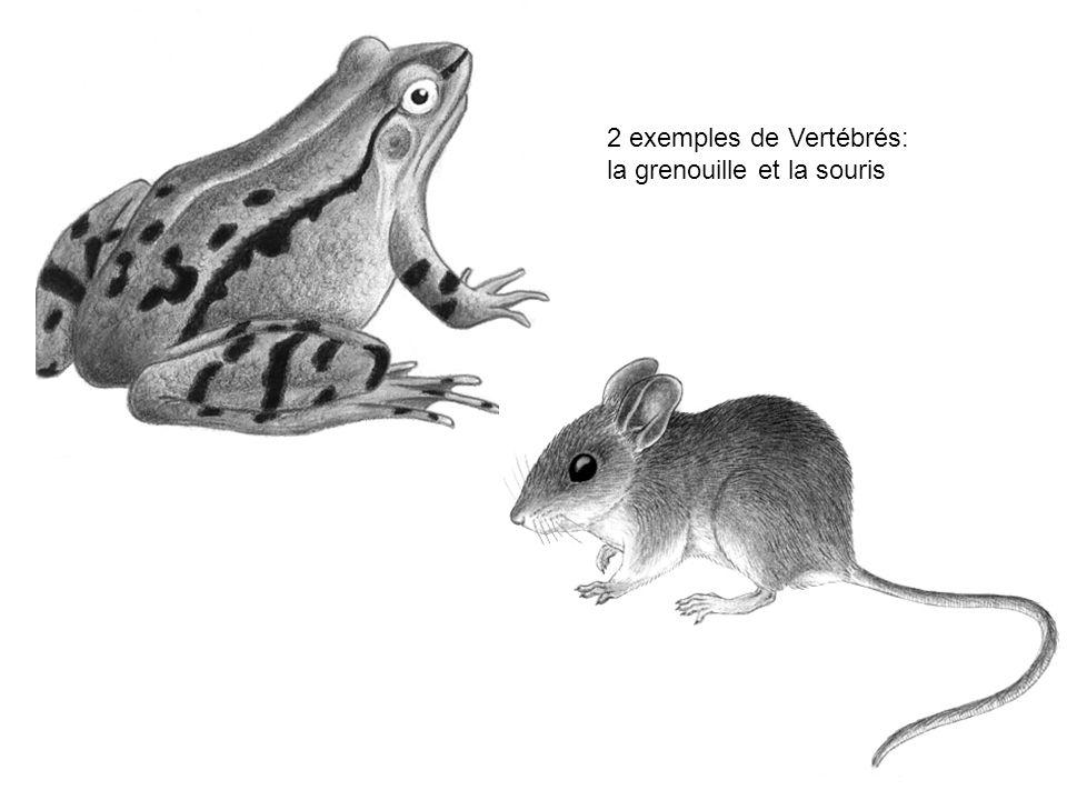 2 exemples de Vertébrés: la grenouille et la souris