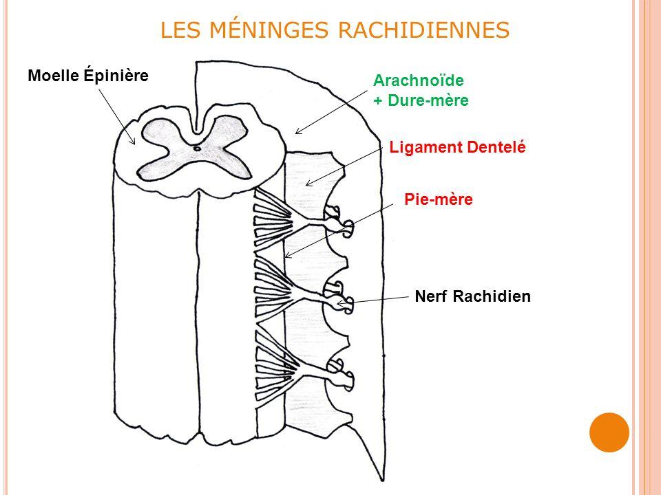 LES MÉNINGES RACHIDIENNES Arachnoïde + Dure-mère Pie-mère Ligament Dentelé Moelle Épinière Nerf Rachidien