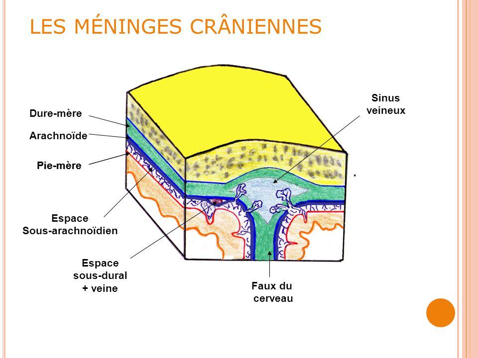 LES MÉNINGES CRÂNIENNES Faux du cerveau Pie-mère Arachnoïde Dure-mère Pie-mère Espace Sous-arachnoïdien Espace sous-dural + veine Sinus veineux