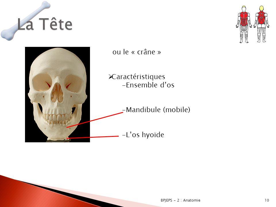 10BPJEPS - 2 : Anatomie ou le « crâne »  Caractéristiques -Ensemble d'os -Mandibule (mobile) -L'os hyoïde